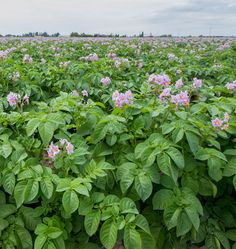 How and When to Harvest Potatoes