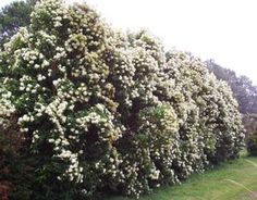 Lemon Myrtle - LOVE this plant. Native to the Eastern States of Australia - but . Lemon Myrtle - L Screen Plants, Privacy Plants, Privacy Screens, Australian Native Garden, Australian Plants, Shrubs For Landscaping, Landscaping Ideas, Evergreen Flowers, Myrtle Tree