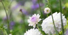 Der findes rigtig mange forskellige dahliaer, og jeg bliver nødt til at sige, at jeg finder nogle for svulstige og 'Tivoli-blomst-agtige'. ...