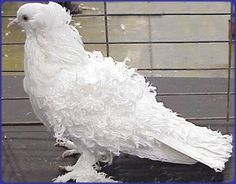 Frill Back Pigeon Pigeon Cage, Pigeon Bird, Dove Pigeon, Pet Pigeon, White Pigeon, Pretty Birds, Beautiful Birds, Animals Beautiful, Pigeon Diseases