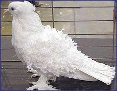 Frill Back Pigeon Dove Pigeon, Pigeon Bird, Pet Pigeon, White Pigeon, Pretty Birds, Beautiful Birds, Animals Beautiful, Pigeon Diseases, Tumbler Pigeons