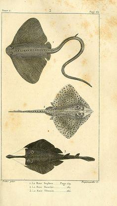 Sting rays, Histoire naturelle des quadrupèdes-ovipares. Paris: Rapet, 1819.