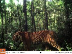Un majestueux tigre de Sumatra/ http://photo.geo.fr/magnifiques-animaux-sauvages-photographies-par-des-camera-traps-15876#un-coyote-pris-en-photo-dans-le-cheeseboro-canyon-280033