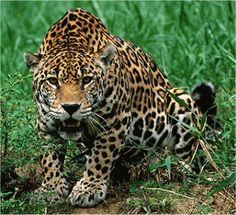 jaguar saltando frente - Buscar con Google