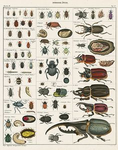 Beetles.  Oken Natural History Butterfly & Insect Prints