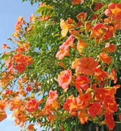 Bignone : plantation, entretien et taille des bignones