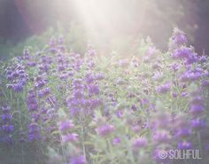 Flower Patch  Flower Photography  Purple Art  by SolhfulPrintShop on etsy.