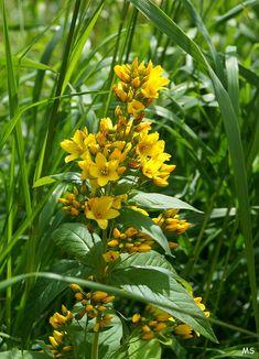 https://flic.kr/p/WZRWi9 | Ranta-alpi Lysimachia vulgaris