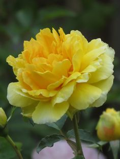 English Rose, shrub 'Molineux Rose', bred by David C. H. Austin (United Kingdom, 1994).