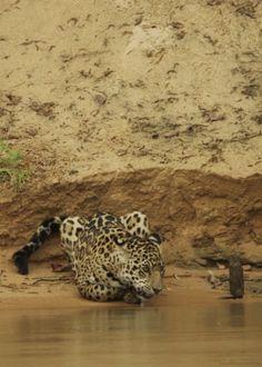 Foto: #FAMILIA  DEL REINO #ANIMAL   Incluye cuatro especies de felinos , En el género Panthera: el león (Panthera leo), tigre (Panthera tigris), el leopardo (Panthera pardus) y el jaguar (Panthera onca). Los felinos son los depredadores más especializados. Tienen los colmillos muy desarrollados y son capaces de matar a sus víctimas de un mordisco. Algunos tienen las uñas retráctiles y los ojos adaptados para ver mucho mejor que la mayoría de todos los otros animales, tanto de día como de…