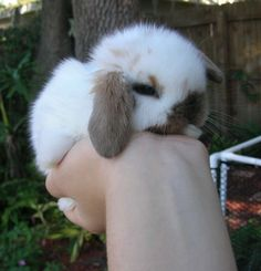 we are family owned and operated. our rabbitry offers pet or show quality rabbits from registered gr. Dwarf Bunnies For Sale, Holland Lop Bunnies For Sale, Baby Rabbits For Sale, Show Rabbits, Pet Bunny Rabbits, Super Cute Animals, Cute Little Animals, Baby Exotic Animals, Netherland Dwarf Bunny