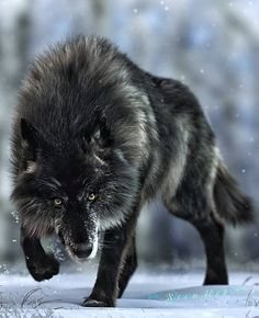 Proudly presentsYou can find Timber wolf and more on our website.Proudly presents Wolf Photos, Wolf Pictures, Beautiful Wolves, Animals Beautiful, Animal Original, Tier Wolf, Animals And Pets, Cute Animals, Wild Animals