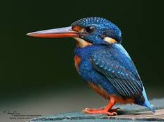 Image result for king fisher. google.co.nz