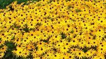 Les rudbeckies Cette jolie vivace a vraiment tout pour plaire! Cette plante solide et résistante aux parasites tolère plusieurs types de sols. Elle offre une floraison généreuse et prolongée. Insérez-la dans vos plates-bandes, bordures et massifs.