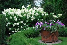 These double ball yew topiaries rule the garden just outside my front door.  They seem quite happy in these enormous pots-the soil moisture is steady.  The generous skirt of mixed petunias, cerise pink verbena and white bacopa-a perfect foil to that seriously dark green form.  I am delighted