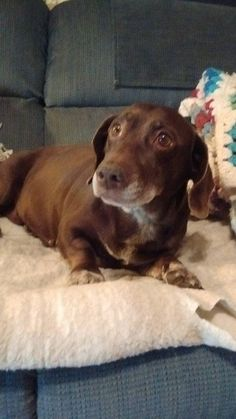 Thelma is an adoptable Dachshund searching for a forever family near Oakdale, MN. Use Petfinder to find adoptable pets in your area.