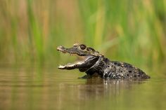 Dwarf Crocodile by Milan Zygmunt on 500px
