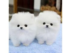 Micro Male&Female Poms Puppies For Adoption - Hunde - Dogs Teacup Pomeranian Puppy, Yorkie Puppy, Teacup Maltese, Micro Pomeranian, Cute Little Animals, Cute Funny Animals, Cute Cats, Tiny Puppies, Cute Dogs And Puppies