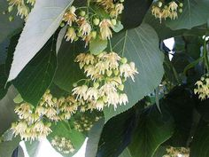 Tilia americana (Basswood, American Century Linden), nectar and pollen source for bees, fragrant. Hardiness Zones: 3-7