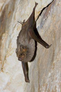 Troughton's sheath-tailed bat | Troughton's Sheathtail Bat, Australia