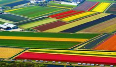 Tulip Fields, Lisse, Netherlands... unbelievably colourful