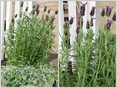 Lavender - Kotivalossa