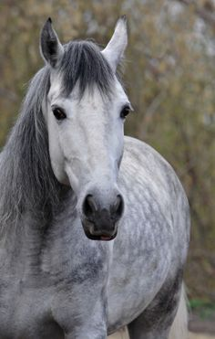 grey horse. This horse is one of the most gorgeous horses I have ever seen. If I had a horse, I would either want it to look like this, be all black, or white with black spots. Beautiful!