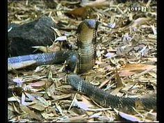 Königskobra Dokumentation