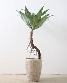 これは、個人的に欲しい... 放置プレーの集大成.アガベ・アテナータ / Agave attenuata狛江店・Onlineshop 入荷しました.#ayanas #succulents #agave #アガベ #アテナータ #多肉植物 #暮らしを彩なす植物