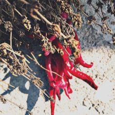 """Denumit si """" antibioticul săracului """" datorită multiplelor sale proprietăți . Poate fi plantat la ghiveci daca nu dețineți o grădinuța si s..."""
