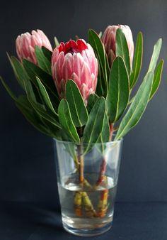 Free Image on Pixabay - Protea, Vase, Flowers, Plant Protea Art, Protea Flower, Flower Vases, Flower Arrangements, Beautiful Roses, Fresh Flowers, Beautiful Flowers, Wild Flowers, Botanical Flowers