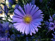 New England asters bloom profusely along roadsides of the eastern United States in early fall.