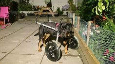 My D.I.Y Wheel chair for tripod Rottweiler. My rottie Harlequinn lost her front leg when she was 6 months old. At first she adjusted and was doing well but as she grew bigger the weight took its toll on her poor little leg. We had to do something for her as she is such a sweetheart. So me and my stepdad made a wheelchair for her. She can now run and play like any other dog.