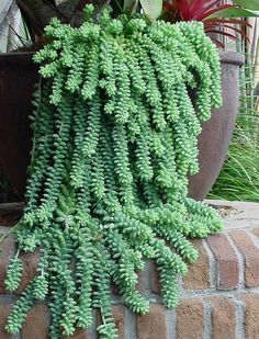 Sedum morganianum DONKEY TAILS - Popular Gardening Pins on Pinterest