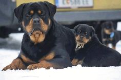 Rottweiler #BullyDogNation