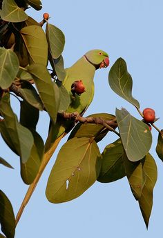 Mauritius Echo Parakeet - Perruche de Maurice (Psittacula eques echo)