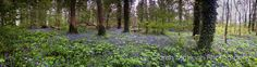 Bluebell Woods at Lissadell Angles Images, Wide Angle, Photography Photos, Woods, Landscapes, Inspirational, Plants, Paisajes, Scenery