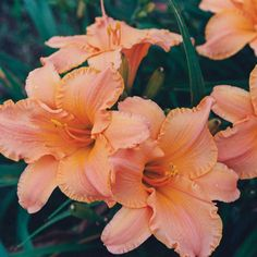 R&R Tangerine Dreams Hemerocallis | Roots & Rhizomes