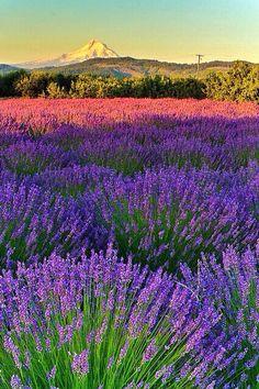 Fields of Lavender - Oregon