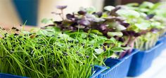Los germinados son alimentos vivos y esto aumenta su valor nutricional. Una de las ventajas de los germinados es que podemos producirlos en casa.