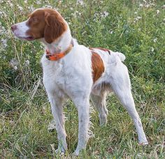 The ubiquitous Brittany is popular for good reason. By Joel Vance For basketball Best Dog Breeds, Large Dog Breeds, Best Dogs, Quail Hunting, Hunting Dogs, Brittney Spaniel, Dog Fails, French Dogs, Buy Puppies