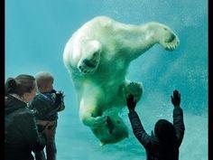 "▶ IJsbeer(tje) Vicks 1 jaar - Polar bear Vicks 1 year old - YouTube. To go with the book ""Vicks The Polar Bear Cub"" by Mack"