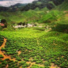 Cameron Highlands, Maleisië.