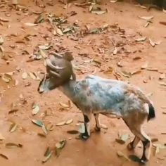 Cute Funny Animals, Cute Baby Animals, Funny Cute, Animals And Pets, Cute Animal Videos, Funny Animal Pictures, Cool Pets, Cute Dogs, Animals Images