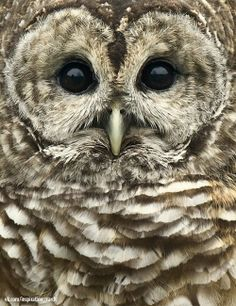 Vilma, the barred owl. Born in she is a stunning owl and known for beak snapping during educational programs Beautiful Owl, Animals Beautiful, Owl Bird, Pet Birds, Barred Owl, Tier Fotos, All Gods Creatures, Cute Owl, Cute Baby Animals