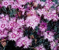 Anatolische Nelke (Dianthus anatolicus)