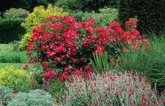 Výsledek obrázku pro rose climbing red