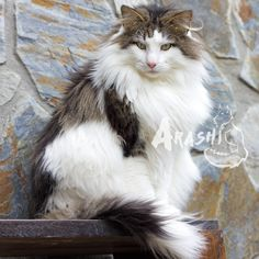 Raynor, my Norwegian Forest Cat
