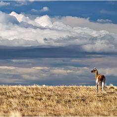 Guanaco - Parque Nacional Pali Aike, XII Región de Magallanes. Fotografía de Karsten Rau and shared by photo by chilediscovery