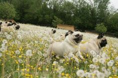The hills are alive, with the sound of snorting! With snorts the pugs have made for a thousand years!